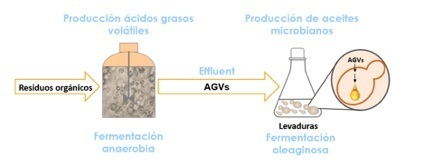 Producción de Aceites Microbianos a partir de residuos orgánicos